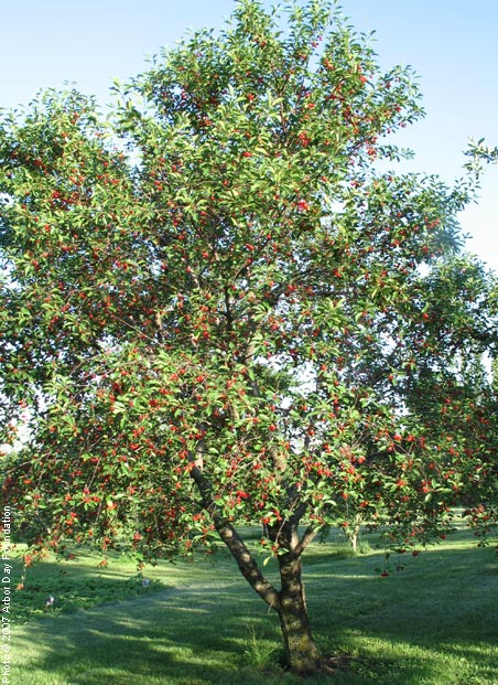 Cherry, Montmorency—Prunus cerasus