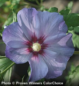 'Azurri Satin' Rose-of-Sharon—Hibiscus syriacus 'DVPazurri'