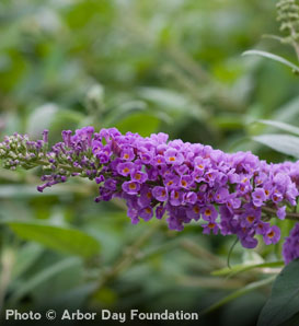 'Blue Chip' Butterfly Bush—Buddleia hybrid