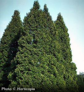 American Arborvitae—Thuja occidentalis
