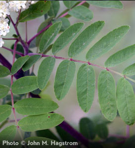 American Mountainash—Sorbus americana