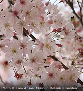 Autumn Flowering Higan Cherry—Prunus subhirtella 'Autumnalis'