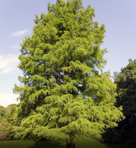 Baldcypress—Taxodium distichum