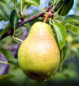 Bartlett Pear—Pyrus communis