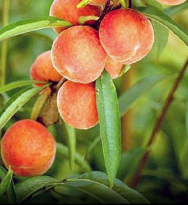 Peach, Belle of Georgia - Prunus persica