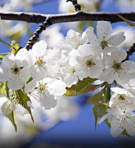 Fruitless Fruit Trees Uconnladybug S Blog