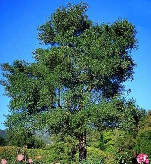 California Oak - Quercus lobata