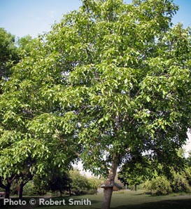 Carpathian English Walnut—Juglans regia 'Carpathian'