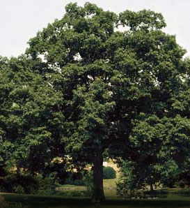 Chinkapin oak