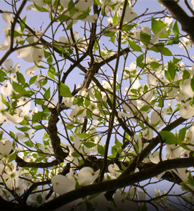Dogwood, Cloud 9 - Cornus florida 'Cloud 9'