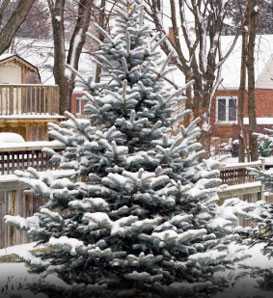 Colorado Blue Spruce—Picea pungens