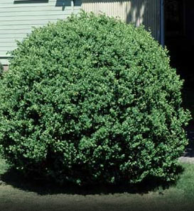 Common Boxwood—Buxus sempervirens