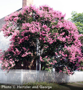 Crapemyrtle (Crape Myrtle) - Lagerstroemia indica