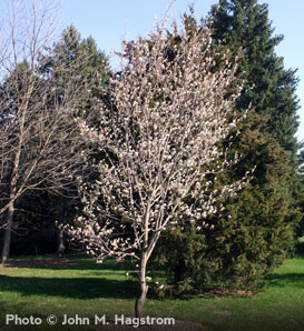 Downy Serviceberry—Amelanchier arborea