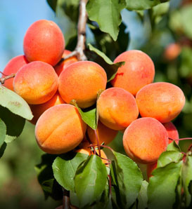 Early Golden Apricot—Prunus armeniaca