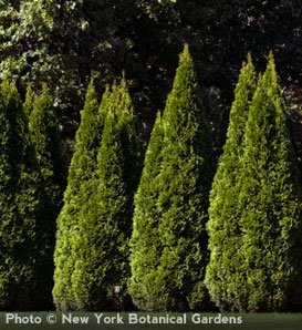 Emerald Arborvitae—Thuja occidentalis 'Emerald'