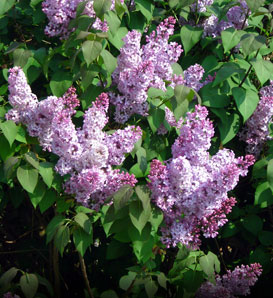 Flower Free Delivery on Lilac Syringa Vulgaris Light Purple Or Lavender Flowers Garden Flower