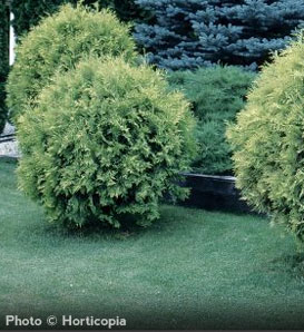 Golden Globe Arborvitae—Thuja occidentalis 'Golden Globe'