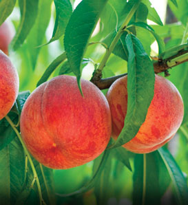 Golden Jubilee Peach—Prunus persica