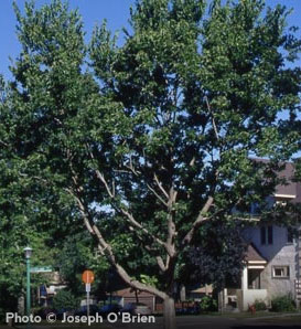 Hackberry—Celtis occidentalis