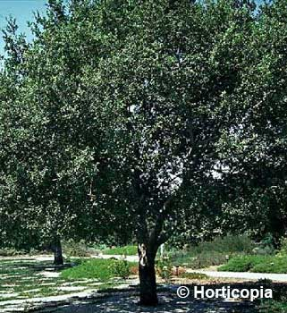Holly Oak - Quercus ilex