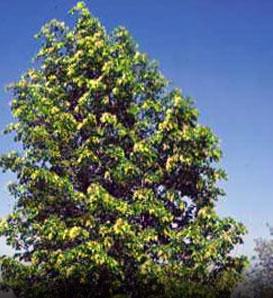 Hybrid Poplar Tree Hybrid Poplar Populus