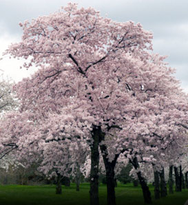 Japanese Flowering Cherry - Prunus x yedoensis