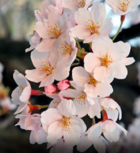 Japanese Flowering Cherry—Prunus x yedoensis