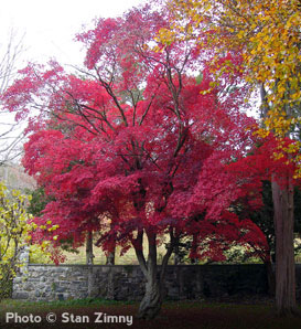 Japanese Red Maple—Acer palmatum var. atropurpureum