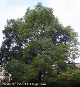 Kentucky Coffeetree—Gymnocladus dioicus