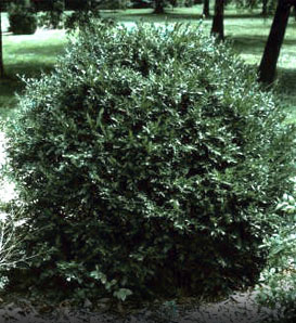 Korean Boxwood—Buxus sinica var. insularis