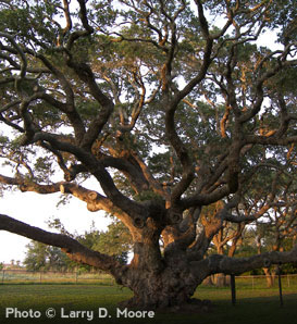 Live Oak On The Tree Guide At Arborday Org