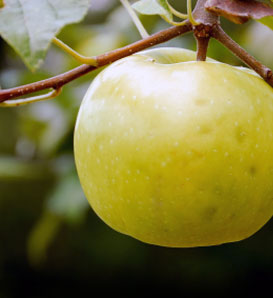 Lodi Apple—Malus x domestica