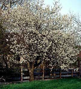 Mexican Plum - Prunus mexicana