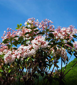 Mountain-Laurel - Kalmia latifolia