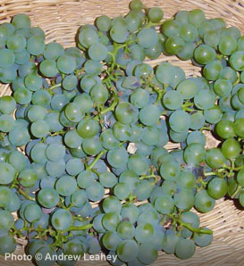Grape, Niagara - Vitis 'Niagara'