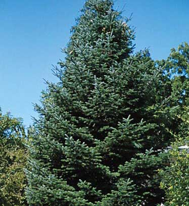 Noble Fir - Abies procera