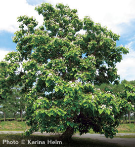 Northern Catalpa—Catalpa speciosa