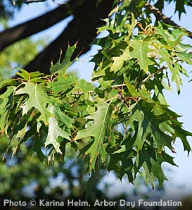 Northern Red Oak—Quercus rubra