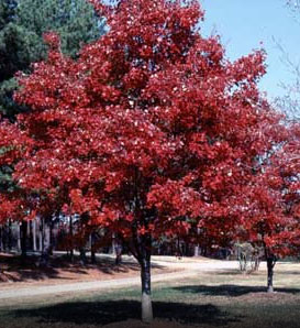 October Glory Maple—Acer rubrum 'October Glory'