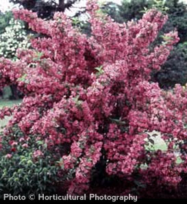 Old Fashioned Weigela—Weigela florida