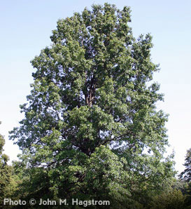 Pin Oak—Quercus palustris