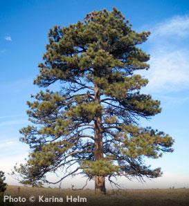 Ponderosa Pine Tree Images Ponderosa Pine Pinus ponderosa