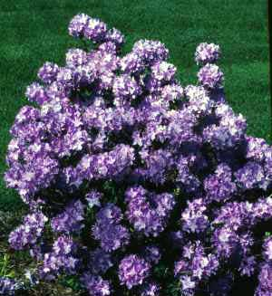 Rhododendron, Purple - Rhododendron catawbiense