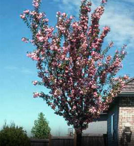 Purpleleaf Sand Cherry—Prunus x cistena