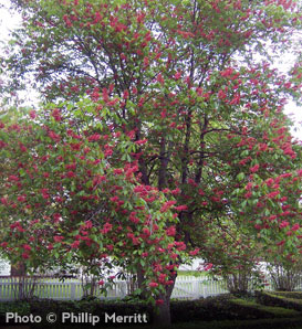 Red Buckeye - Aesculus pavia