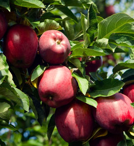 Red Delicious Apple—Malus x domestica