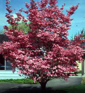 Red Dogwood—Cornus florida 'Rubra'