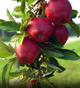 Red Jonathan Apple—Malus x domestica