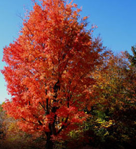Red Maple - Acer rubrum